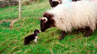 Download Man's Best Workmate - Border Collie puppies | Big Week on the Farm | RTÉ One Video