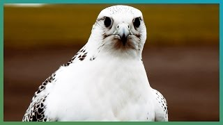 Download How Fast Is A Gyrfalcon? | Earth Unplugged Video