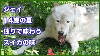 Download シンリンオオカミ ジェイ 14歳の夏 ひとりで食べるスイカの味 Video