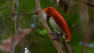 Download Dancing birds of paradise | Wild Indonesia | BBC Video