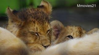 Download 赤ちゃんライオンの授乳と鳴き声(釧路市動物園)~Lion Babies Crying Video