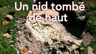 Download Les nids qui tombent des arbres, danger ce n'est pas une légende ! Video