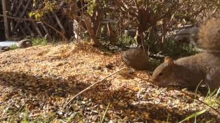 Download Part 1 - Friday February 24th, 2017 Squirrel Feeder Cam and Bird Feeder Cam Video