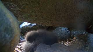 Download Puffin Burrow Cam 07-20-2018 14:40:45 - 15:40:45 Video