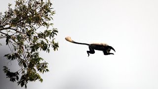 Download Overeager Young Chimpanzee's first Monkey Hunt   BBC Earth Video