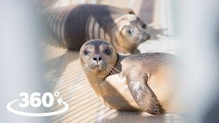 Download Rescued Seals (Pieterburen) VR / 360° Video Experience Video