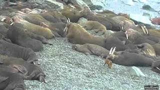 Download Alaskan Walrus cam 4 15 16 658pm Fox LVWOTWoF TheRaptornary Video