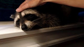 Download Petting A Friendly Wild Raccoon To Sleep Video