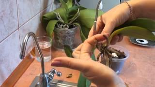 Download Орхидея. Реанимация орхидеи. Один из способов. orchid rehabilitation Video