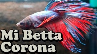 Download Acuario plantado 10 litros con un Betta corona Video