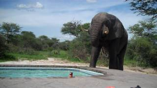 Download Elephant crashes the pool party Video