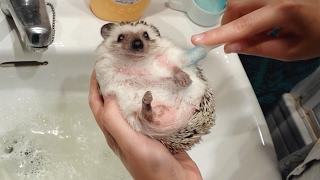 Download Adorable Pet Hedgehog Gets Given A Bath Video