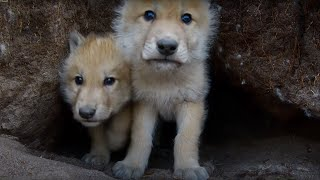 Download Young Wolves Filmed Using Remote Camera! | Snow Wolf Family And Me | BBC Video