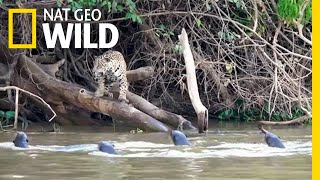 Download Jaguars vs. Giant Otters: Who Will Win? | Nat Geo Wild Video