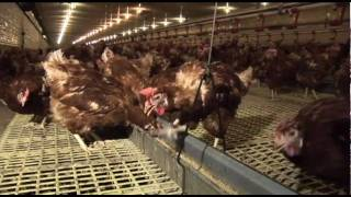 Download What is a free run egg farm? video Video