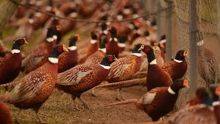 Download Hunting time! Rounding up the birds at New York state's last pheasant farm Video