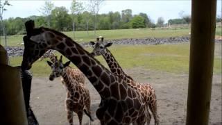 Download Columbus Zoo Heart of Africa: Giraffe Feeding Video