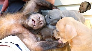 Download Monkey Meets Cute Pit Bull Puppies! Video