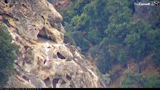 Download Male Condor Scales Cliffside To Check On Chick – Sept. 10, 2019 Video