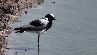 Download Djuma: Blacksmith Lapwing adults-chick not seen since early on 24th - 09:13 - 11/25/18 Video