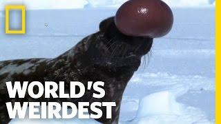Download Hooded Seal   World's Weirdest Video