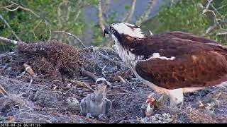 Download Growing Osprey Chicks Perk Up For Feeding Next To Unhatched Egg #3 – April 26, 2018 Video