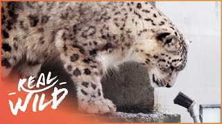 Download Snow Leopards Playing With Humans | Wild Things Video