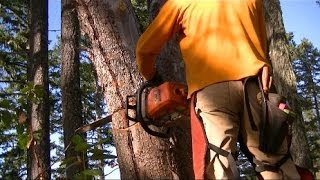 Download Felling Hung Up Leaner Trees w/ near misses - Modified Stihl 039 / MS390 Full Wrap Handlebar Video