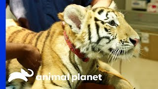 Download Tiger On The Loose! | The Vet Life: Extreme Animal Encounters Video