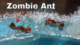 Download How I Made an Ant Think It Was Dead—The Zombie Ant Experiment Video
