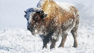 Download Yellowstone In Winter HD Video