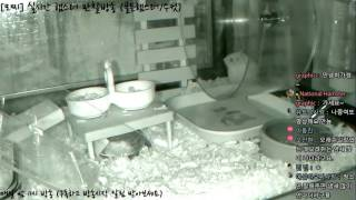 Download [모찌Live/햄스터] 실시간 햄스터 관찰 방송 Hamster Live #16-12-12 Video