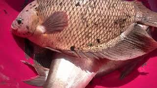 Download Top 3 Most Unbelievable Cast Net Fishing River Monsters Video