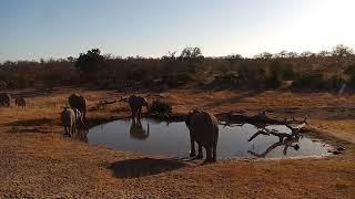 Download Djuma: Elephants getting a nice cool drink - 07:54 - 07/22/19 Video