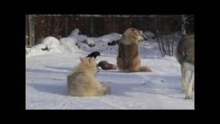 Download International Wolf Center Video