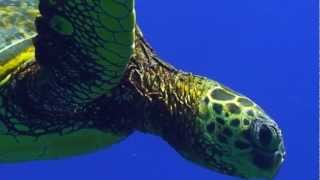 Download Sea Turtle Migration Video Video