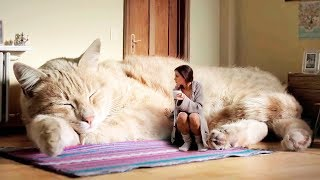 Download THE BIGGEST CATS In The World Video