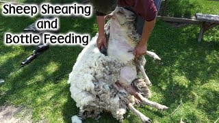 Download Sheep Shearing and Bottle Feeding Video