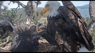 Download Big Bear Eagles ~ *SIMBA Fierce EPIC Fish Battle*! Food Fight, Steals Tug-o-War w/ Shadow 8.3.19 Video