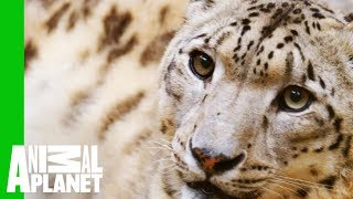 Download Catching a Glimpse of the Elusive Snow Leopard Video