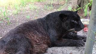 Download Sabre 25 Yr Old Leopard Overheats Video