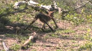 Download 2015 11 25 0859a Baby Impala Video
