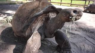 Download 101yr Old Giant Galapagos Tortoise! Video