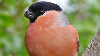 Download Bullfinch - Bullfinches Male, Female and Juvenile Video