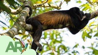 Download ¡Nuestros monos congo se están volviendo amarillos! Video