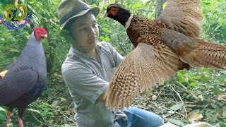 Download PHEASANT vs Cambodia Traditional Trap || Birds Trap || How to Hunting Birds In Cambodia Video