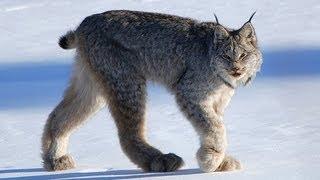 Download CANADIAN LYNX - Amazing Animal Species Video