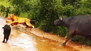 Download Buffalo Chases A Hunting Lion From Her Newborn Calf - Latest Wildlife Sightings Video