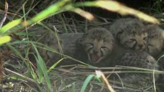Download Baby cheetah sounds Video