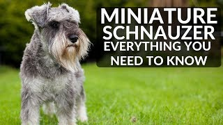 Download MINIATURE SCHNAUZER 101 - Everything You Need To Know About Owning A Schnauzer Puppy Video